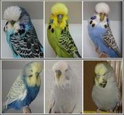 Продаются выставочные волнистые попугаи. г. Старобельск,  Луганская обл