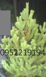 Новогодние елки оптом в Луганске 2015-2016