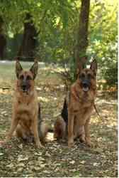 Продам щенят немецкой овчарки