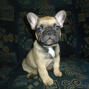 Продается щенок французкого бульдога