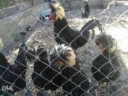 Цыплята кур породы