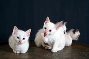 Отдам в добрые руки котенка белого пушистого  породы Снежная туфелька