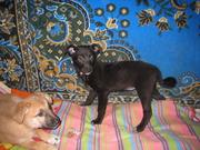 Бесплатно отдадим щенков,  ищем дома щенкам