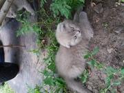 Шотландские веслоухие котята